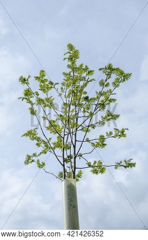 A Sapling Inside A Plastic Tree Shelter (or Tree Guard Or Tree Protector) Against A Bright Spring Sk