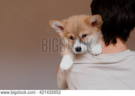 Young Female Holding Cute Little Pembroke Welsh Corgi Puppy. Taking Care And Adopting Pets Concept.