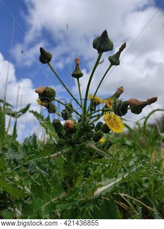 Close Up View Of F Sonchus Asper Against Beautiful Sky, Commonly Known As The Prickly Sow-thistle, R