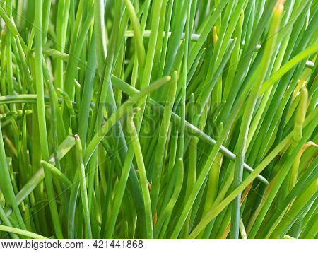 Fresh Green Chives In Garden, Close Up Of Aromatic Herb