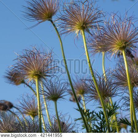 Closeup Of Feathery Seeds Of  The Pasque Flower (pulsatilla Vulgaris ) In Springtime. European Pasqu
