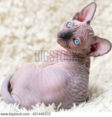 Portrait Of Canadian Sphynx Cat Kitten With Big Blue Eyes Looking At Camera, Lying On White Carpet W
