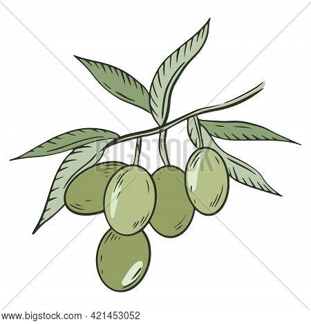 Olive Tree Branch, Vector. Green Olives With Leaves. A Handful Of Berries. Olive Oilseeds. Hand Draw