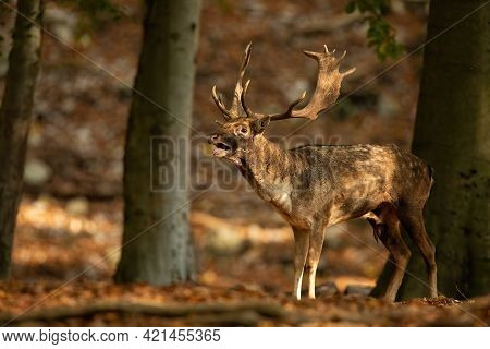 Dominant Fallow Deer Roaring In Sunlit Forest During Rutting Season In Autumn