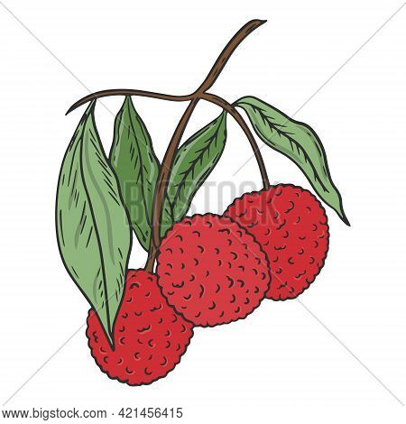 Lychee On A Branch, Vector. Lichi Fruit With Green Leaves. Collect A Handful Of Fruits From The Tree