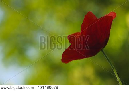 Red Poppy Close-up. Beautiful Red Poppy On A Blurred Green Background. A Flower Of A Large Wildflowe