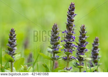 Blue Bugle Flowers (st. Lawrence Plant) Grow In A Meadow Among Green Grass. Close-up.