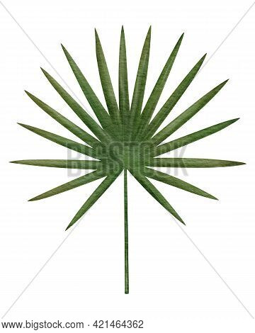Tropical Fan Palm Leaf Hand-drawn Watercolor Illustration Isolated On White Background