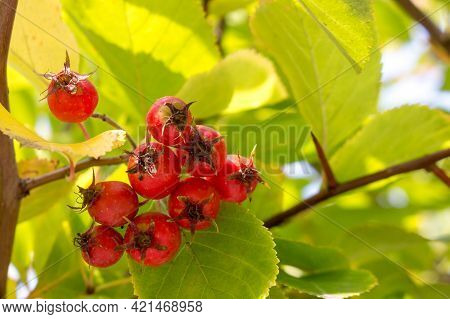 Broad Leaved Cockspur Thorn In A Landscape Park, Autumn View With Red Berries, Close-up.