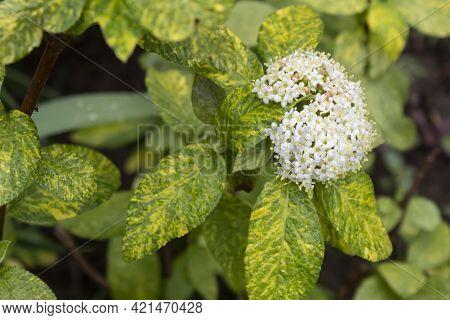 A Variegated Shrub Of The Viburnum Gordovina (lat.vibúrnum Lantána) Blooms With White Flowers.