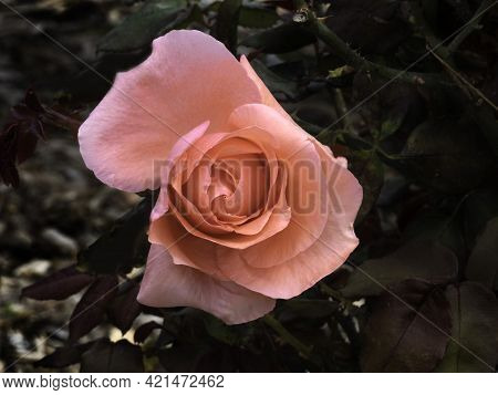 Top View Of Pink Rose Flower Bud Closeup On Dark Foliage Background