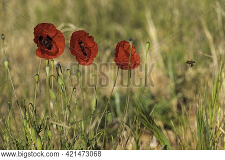Flowers Of Red Poppies Among Ripe Ears Of Wheat Closeup