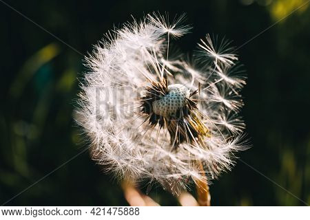 White Dandelion On A Background Of Grass In The Sunset Light. One. Weed Removal. Make A Wish. Nobody