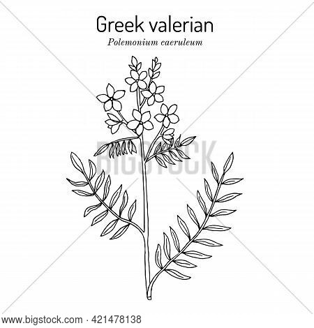 Jacobs-ladder, Or Greek Valerian Polemonium Caeruleum , Medicinal Plant. Botanical Hand Drawn Vector