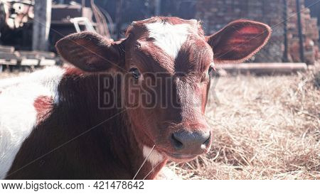 Calves On The Farm. Portrait Of A Calf Looking At The Camera