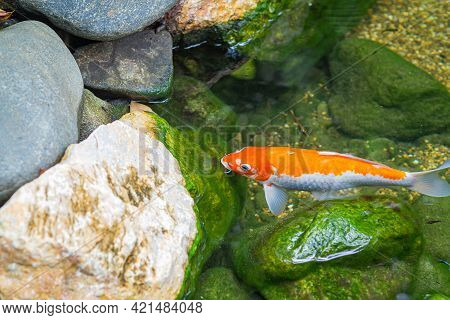 The Single Colorful Koi Carp Or Fancy Carp In The Tranquil Pond Water.