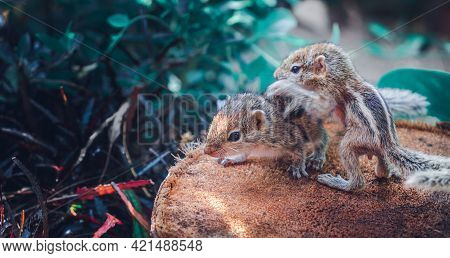 Small Sibling Squirrel Baby Getting Onto Siblings Back, Cute Adorable Animal-themed Photograph, Thre