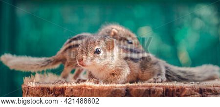 Small Squirrels Lost In The Wild, Cute And Adorable Orphan Squirrel Babies Are Confused And Looking