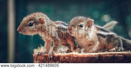 Small Squirrels Lost In The Wild, Cute And Adorable Orphan Squirrel Babies Barely Can Walk And Climb