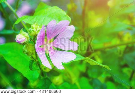 Spring background, spring flower. Closeup blossom view of Lavatera thuringiaca flower, other name is garden tree mallow. Shallow depth of field. Spring background, spring flower landscape