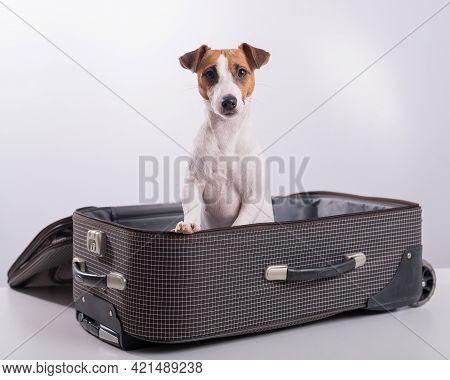 Jack Russell Terrier Sits In A Suitcase On A White Background In Anticipation Of A Vacation. The Dog