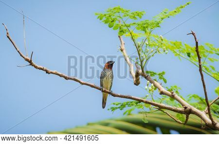 Scaly Breasted Munia Bird Perched On A Tree Branch Against Clear Blue Skies.