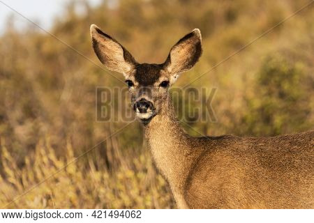 Mule Deer at Rocky Peak Park in the Santa Susana Mountains near Los Angeles and Simi Valley, California.