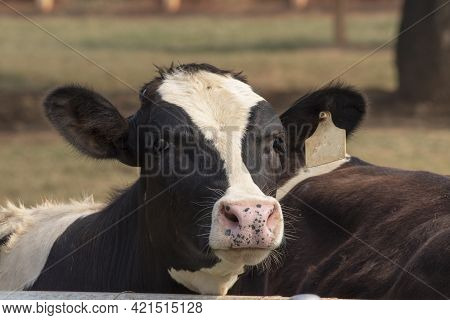 Black And White Cow Picture In Farm, Cow Head.