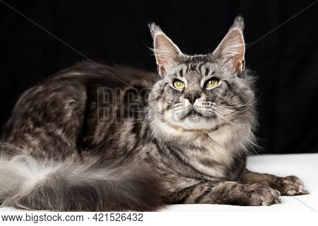 Mackerel Tabby American Longhair Maine Coon Cat Lying On Black And White Background And Looking. Stu