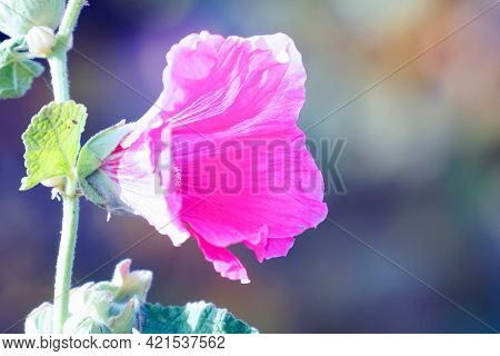 Pink Flower Mallow Or Malva In The Garden On A Natural Background. Selective Focus