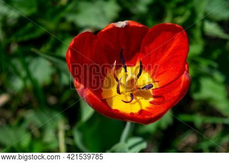Beautiful Red Tulips. Red Tulip On Blurred Background. Red Tulip On Green Field. Close Up Of Beautif