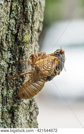 17-year Cicada Partially Emerged from Skin