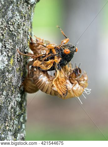 Emerging Cicada from Skin with Wet Wings