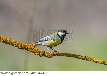 Bird Great Tit, Parus Major, In The Habitat. Bird With An Ornithological Ring.