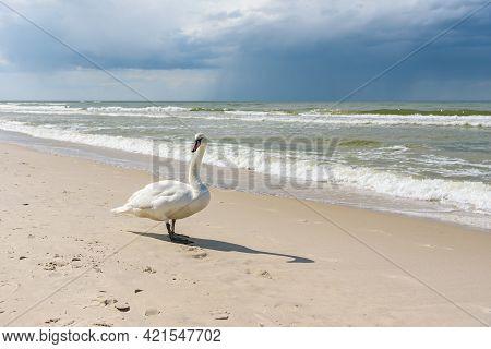Swan On The Sandy Beach At Baltic Sea