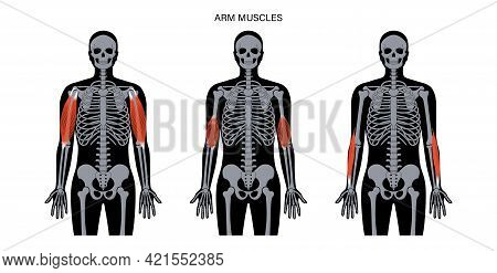 Biceps, Brachioradialis And Brachialis Anatomical Poster. Human Muscular System And Skeleton Parts.