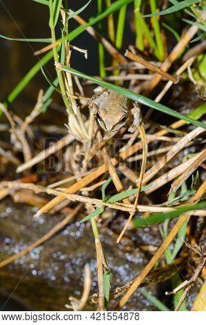 Pacific Tree Frog In Baja California Oasis