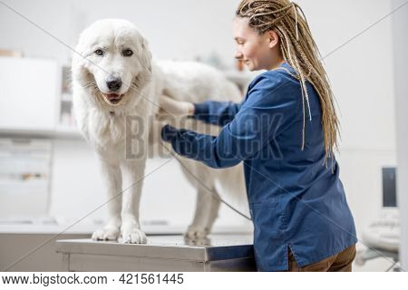 Female Veterinarian Examines Big White Dog Using Ultrasound While Patient Standing At Examination Ta