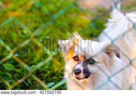 Defocus Pekingese Dog On The Grass Looking Through Green Metal Fence. Portrait Of A Dog Behind An Ir