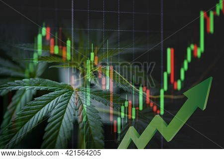 Cannabis Business With Marijuana Leaves And Stock Graph Charts On Stock Market Exchange Trading Inve