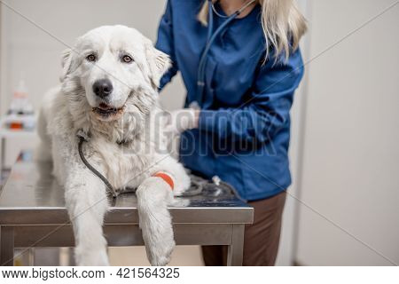 A Portrait Of Big White Dog Lying At Examination Table While Veterinarian Check Up With Stethoscope