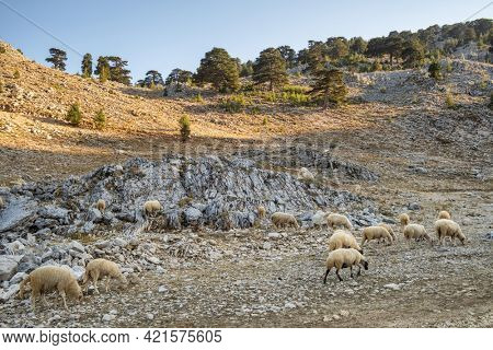 Flock of sheep grazing on a rocky slopes of Tahtali mountain in Antalya province, Turkey