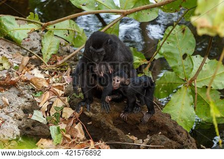 Endemic Monkey Celebes Crested Macaque (macaca ) Known As Black Monkey, Mother With Baby In Rainfore