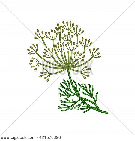 Dill Seeds Vector Realistic Colored Botanical Illustration
