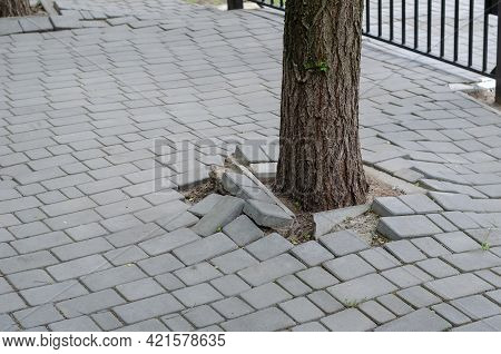 Root Of Tree Growing And Damage Brick Block Walkway. Damaged Sections Of Gray Sidewalk Next To The B