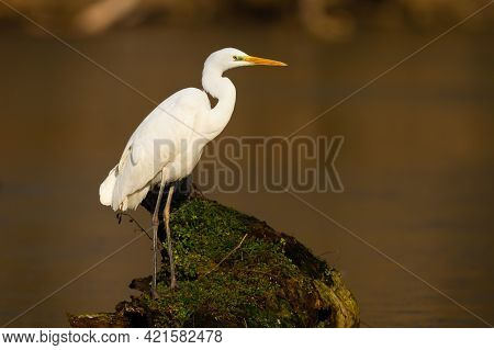 Adult Great Egret With White Plumage Sitting On Branch Surrounded By Water