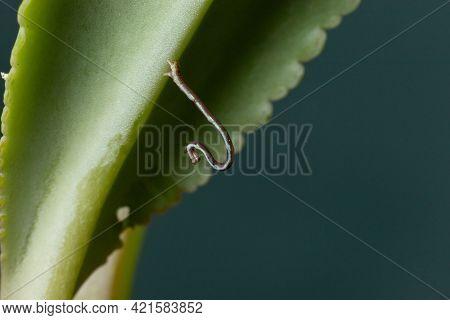 Geometrid Caterpillar On A Green Leaf Stock Photo