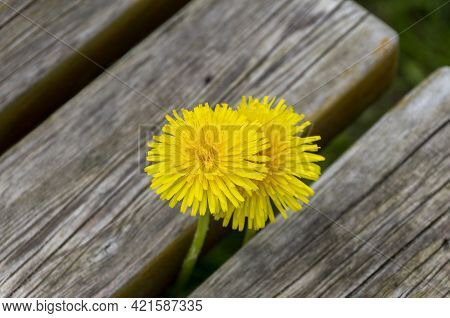 Yellow Dandelion On An Old Wooden Bench