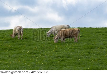 Free Range Herd Cattle Cows On High Mountain Green Pasture.