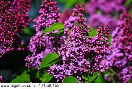 Art Photo Of Lilac Bush. Spring Flowers - Blooming Lilac Spring Flowers. Spring Natural Blurred Back